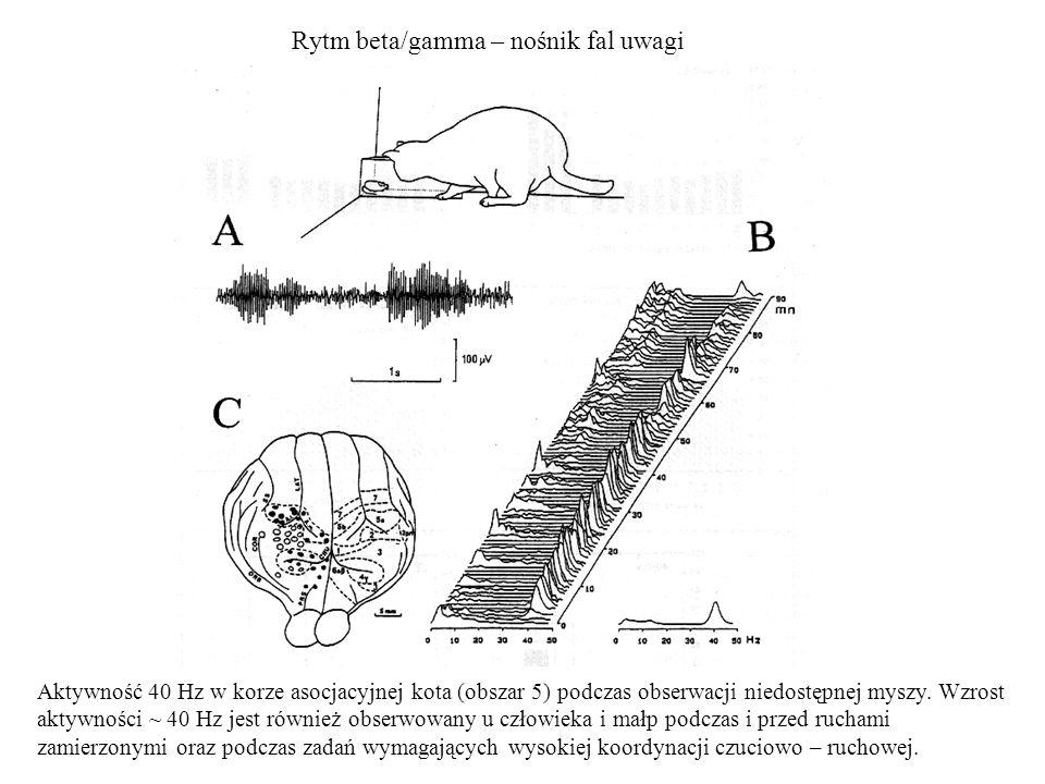 Rytm beta/gamma – nośnik fal uwagi Aktywność 40 Hz w korze asocjacyjnej kota (obszar 5) podczas obserwacji niedostępnej myszy. Wzrost aktywności ~ 40