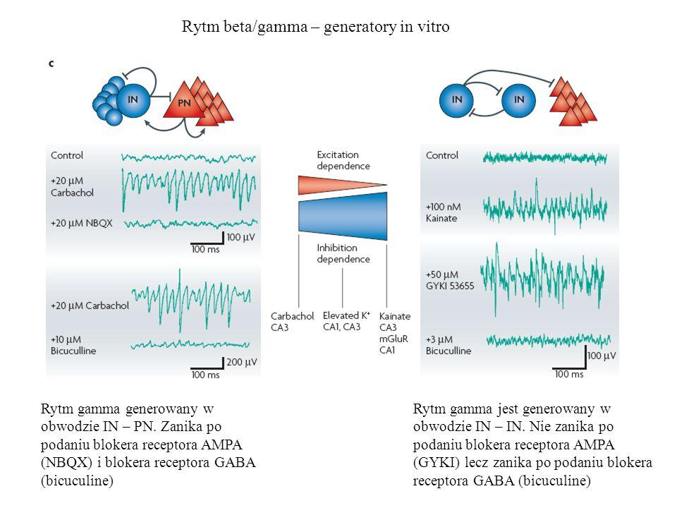 Rytm beta/gamma – generatory in vitro Rytm gamma generowany w obwodzie IN – PN. Zanika po podaniu blokera receptora AMPA (NBQX) i blokera receptora GA