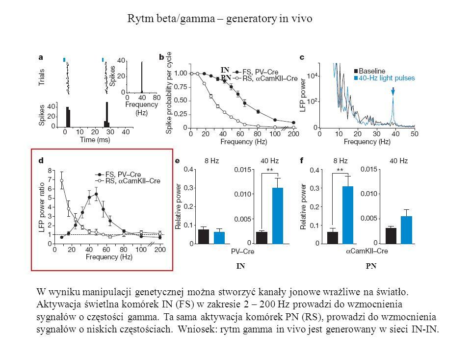 Rytm beta/gamma – generatory in vivo W wyniku manipulacji genetycznej można stworzyć kanały jonowe wrażliwe na światło. Aktywacja świetlna komórek IN