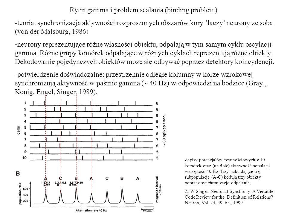 Rytm gamma i problem scalania (binding problem) -teoria: synchronizacja aktywności rozproszonych obszarów kory łączy neurony ze sobą (von der Malsburg