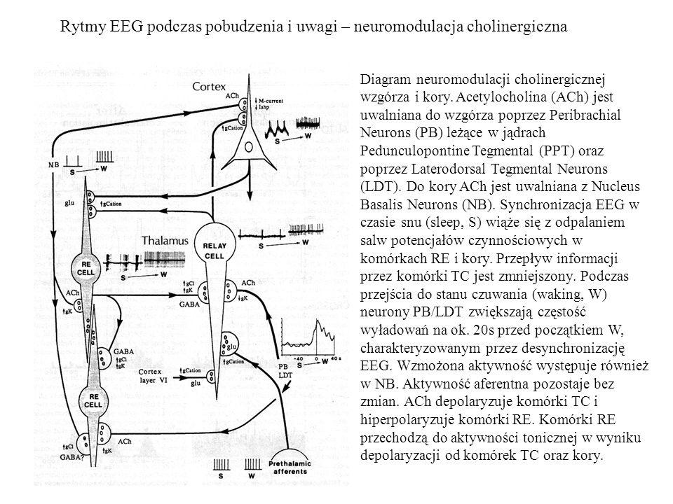 Rytmy EEG podczas pobudzenia i uwagi – neuromodulacja cholinergiczna Diagram neuromodulacji cholinergicznej wzgórza i kory. Acetylocholina (ACh) jest