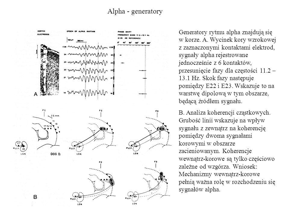 Alpha - generatory Generatory rytmu alpha znajdują się w korze. A. Wycinek kory wzrokowej z zaznaczonymi kontaktami elektrod, sygnały alpha rejestrowa