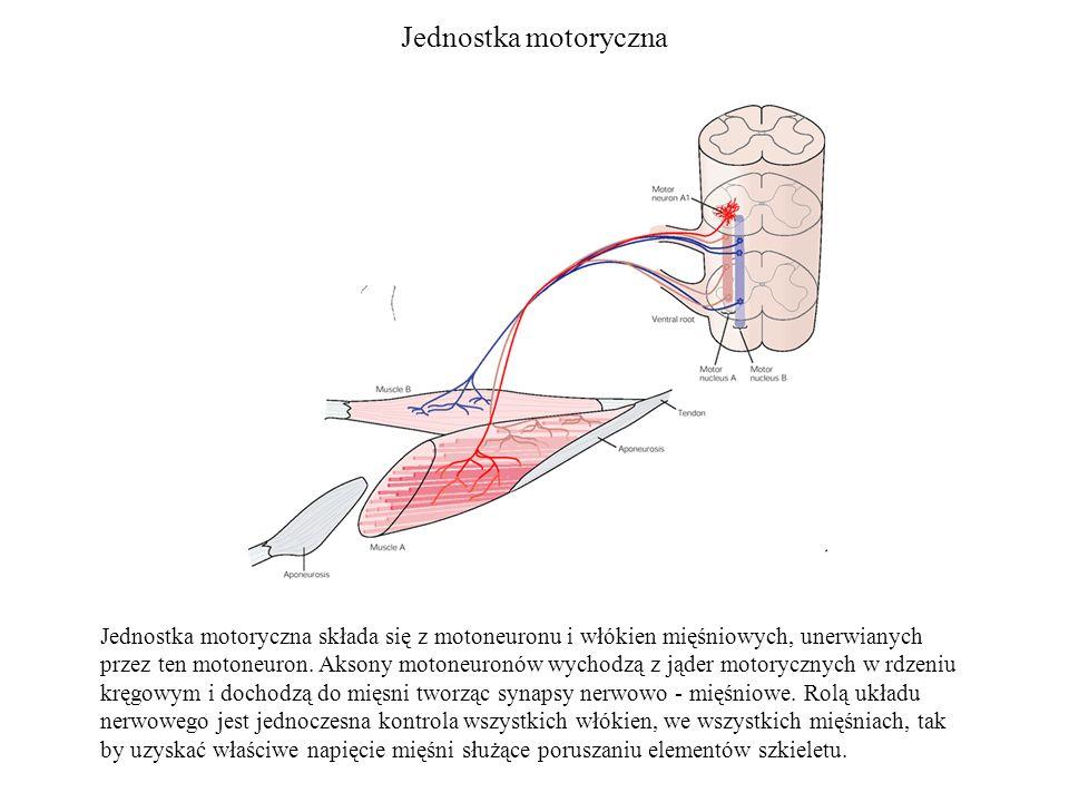 Jednostka motoryczna Jednostka motoryczna składa się z motoneuronu i włókien mięśniowych, unerwianych przez ten motoneuron. Aksony motoneuronów wychod