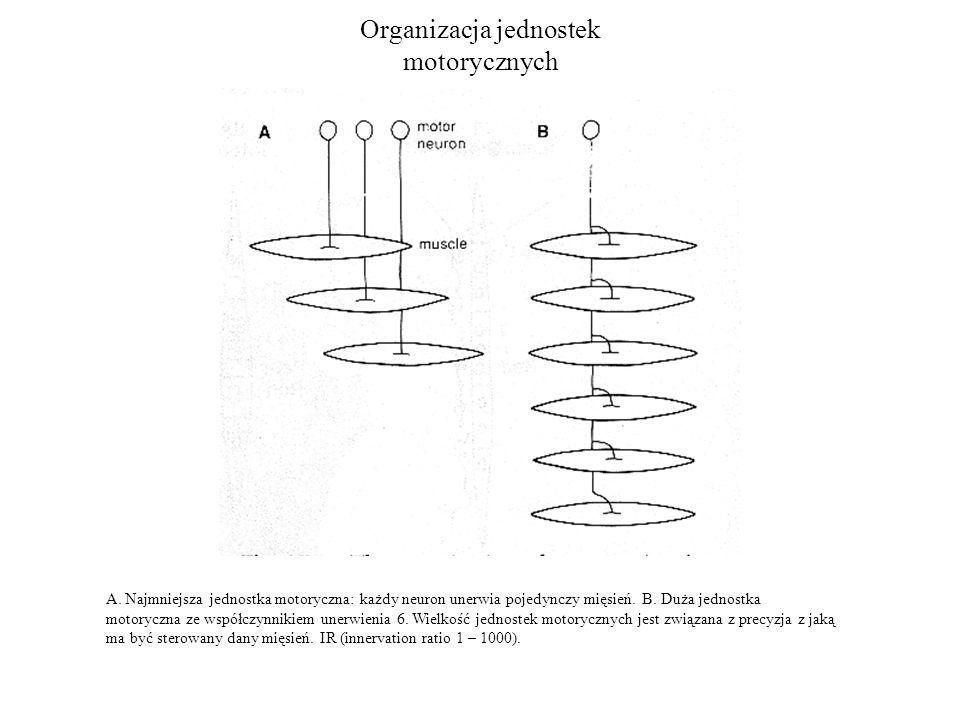 Organizacja jednostek motorycznych A. Najmniejsza jednostka motoryczna: każdy neuron unerwia pojedynczy mięsień. B. Duża jednostka motoryczna ze współ