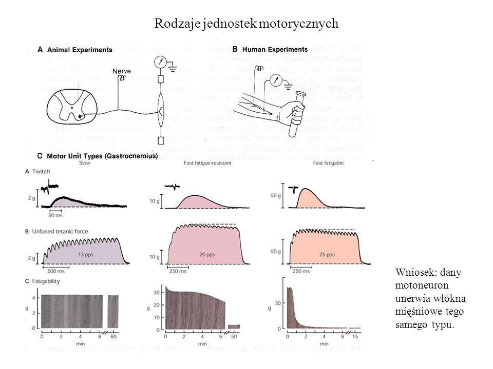 Rodzaje jednostek motorycznych Wniosek: dany motoneuron unerwia włókna mięśniowe tego samego typu.