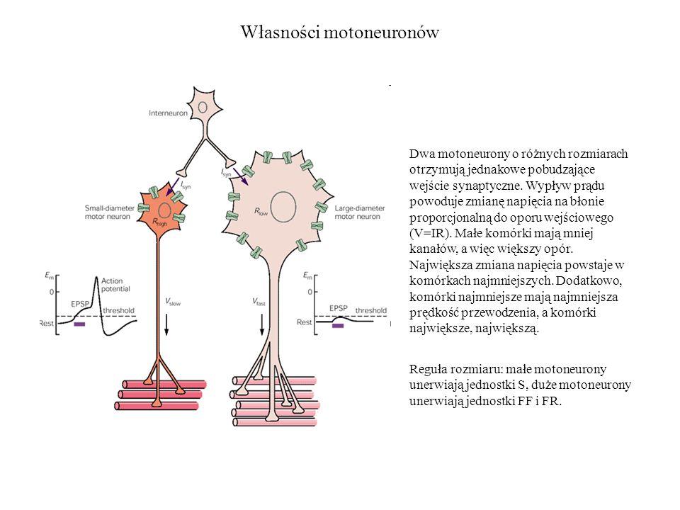 Własności motoneuronów Dwa motoneurony o różnych rozmiarach otrzymują jednakowe pobudzające wejście synaptyczne. Wypływ prądu powoduje zmianę napięcia