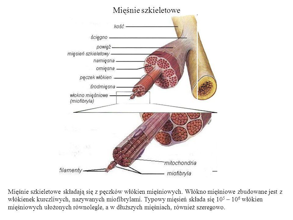 Mięśnie szkieletowe Mięśnie szkieletowe składają się z pęczków włókien mięśniowych. Włókno mięśniowe zbudowane jest z włókienek kurczliwych, nazywanyc