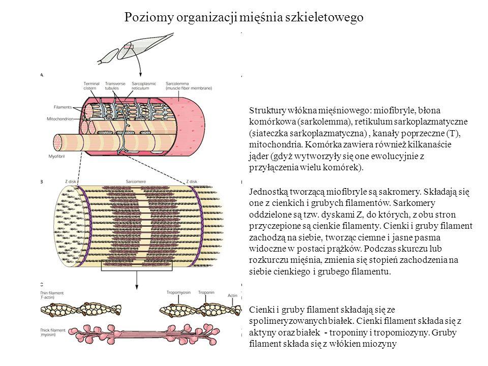 Poziomy organizacji mięśnia szkieletowego Struktury włókna mięśniowego: miofibryle, błona komórkowa (sarkolemma), retikulum sarkoplazmatyczne (siatecz