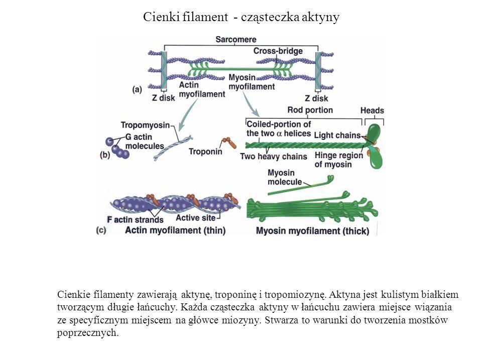 Cienki filament - cząsteczka aktyny Cienkie filamenty zawierają aktynę, troponinę i tropomiozynę. Aktyna jest kulistym białkiem tworzącym długie łańcu