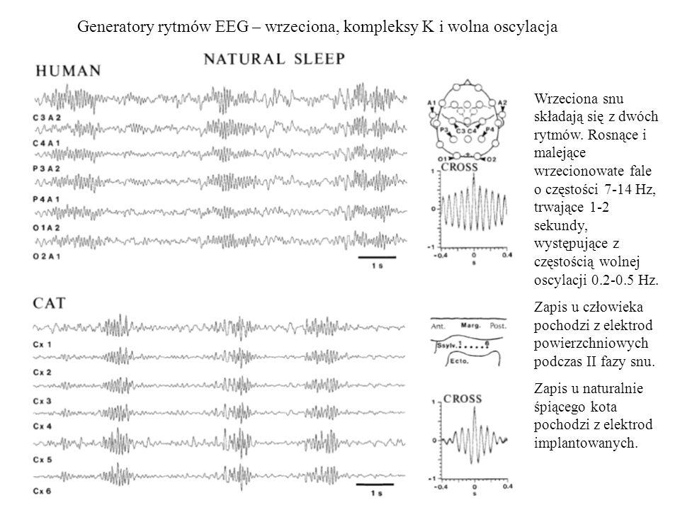 Generatory rytmów EEG – wrzeciona, kompleksy K i wolna oscylacja Wrzeciona snu składają się z dwóch rytmów. Rosnące i malejące wrzecionowate fale o cz