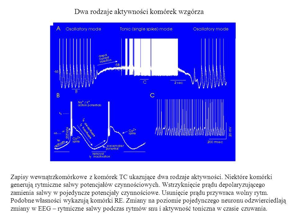 Dwa rodzaje aktywności komórek wzgórza Zapisy wewnątrzkomórkowe z komórek TC ukazujące dwa rodzaje aktywności. Niektóre komórki generują rytmiczne sal