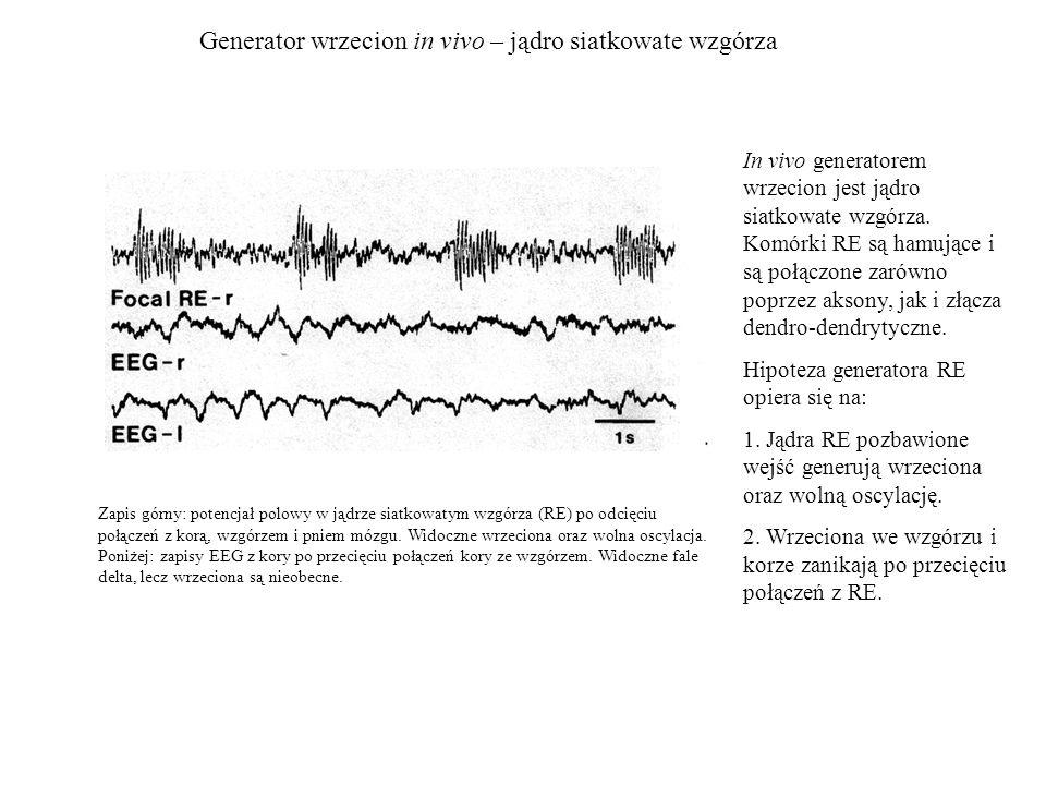 Generator wrzecion in vivo – jądro siatkowate wzgórza Zapis górny: potencjał polowy w jądrze siatkowatym wzgórza (RE) po odcięciu połączeń z korą, wzg