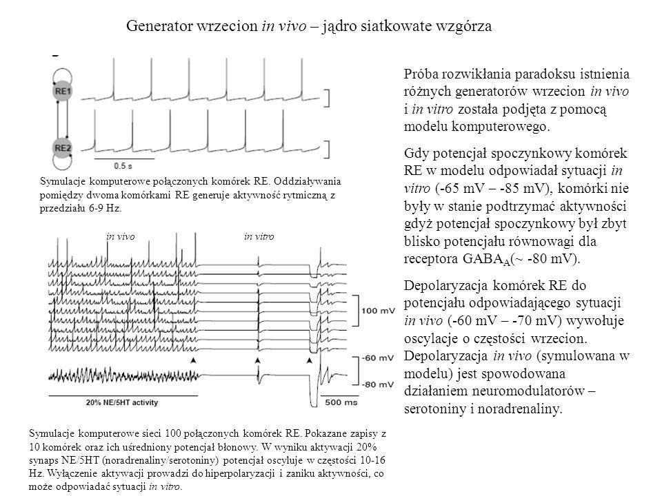 Generator wrzecion in vivo – jądro siatkowate wzgórza Symulacje komputerowe połączonych komórek RE. Oddziaływania pomiędzy dwoma komórkami RE generuje
