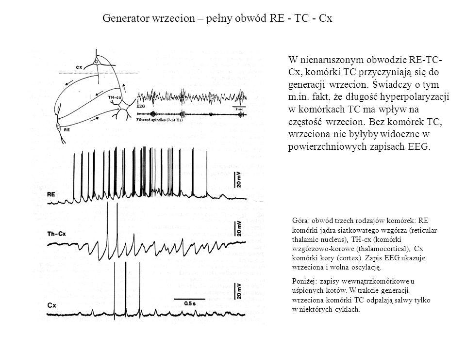 Generator wrzecion – pełny obwód RE - TC - Cx Góra: obwód trzech rodzajów komórek: RE komórki jądra siatkowatego wzgórza (reticular thalamic nucleus),