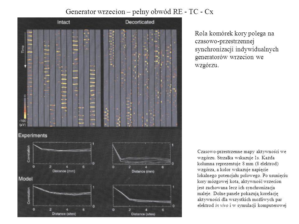 Generator wrzecion – pełny obwód RE - TC - Cx Rola komórek kory polega na czasowo-przestrzennej synchronizacji indywidualnych generatorów wrzecion we