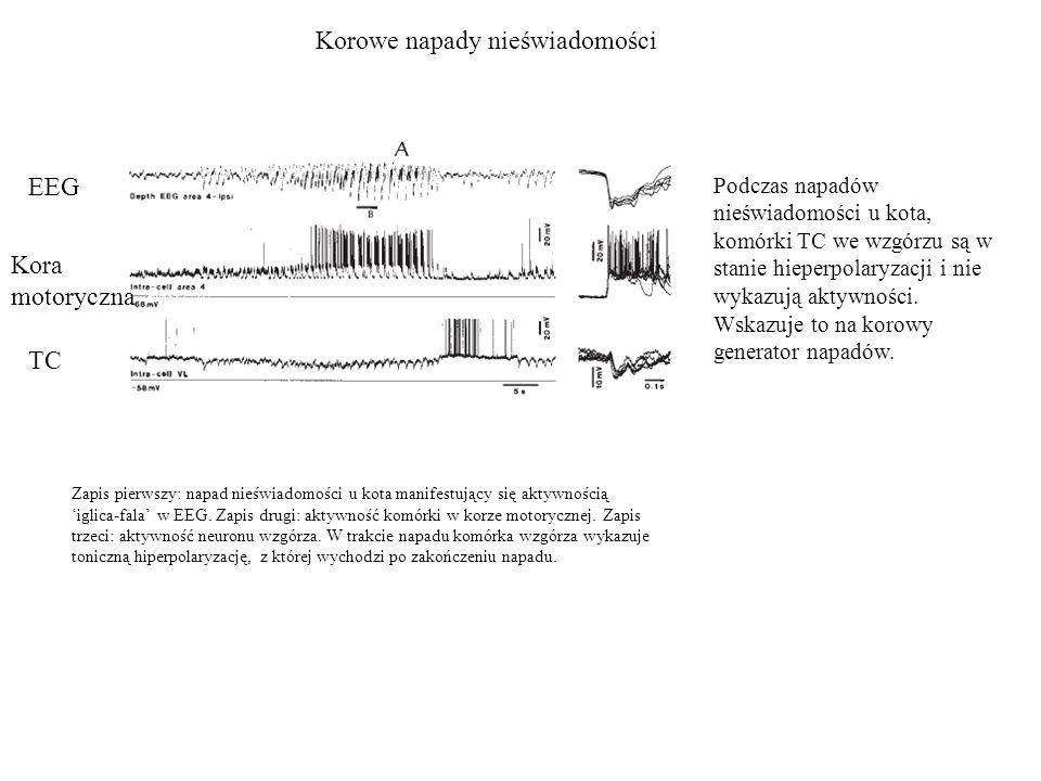 Korowe napady nieświadomości Podczas napadów nieświadomości u kota, komórki TC we wzgórzu są w stanie hieperpolaryzacji i nie wykazują aktywności. Wsk
