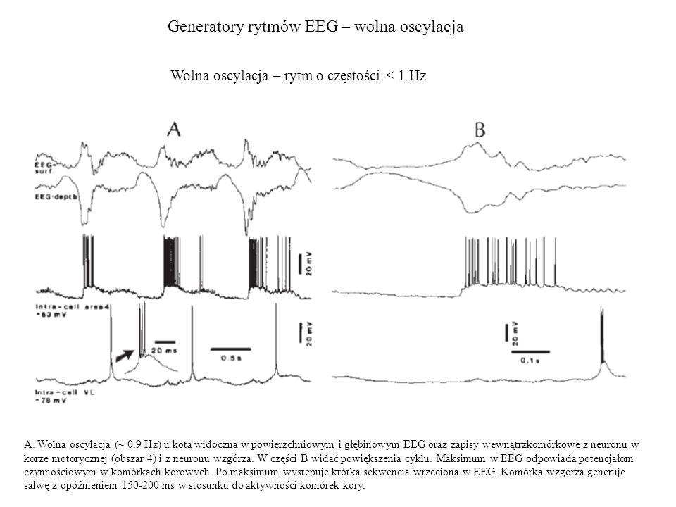 Generatory rytmów EEG – wolna oscylacja A. Wolna oscylacja (~ 0.9 Hz) u kota widoczna w powierzchniowym i głębinowym EEG oraz zapisy wewnątrzkomórkowe
