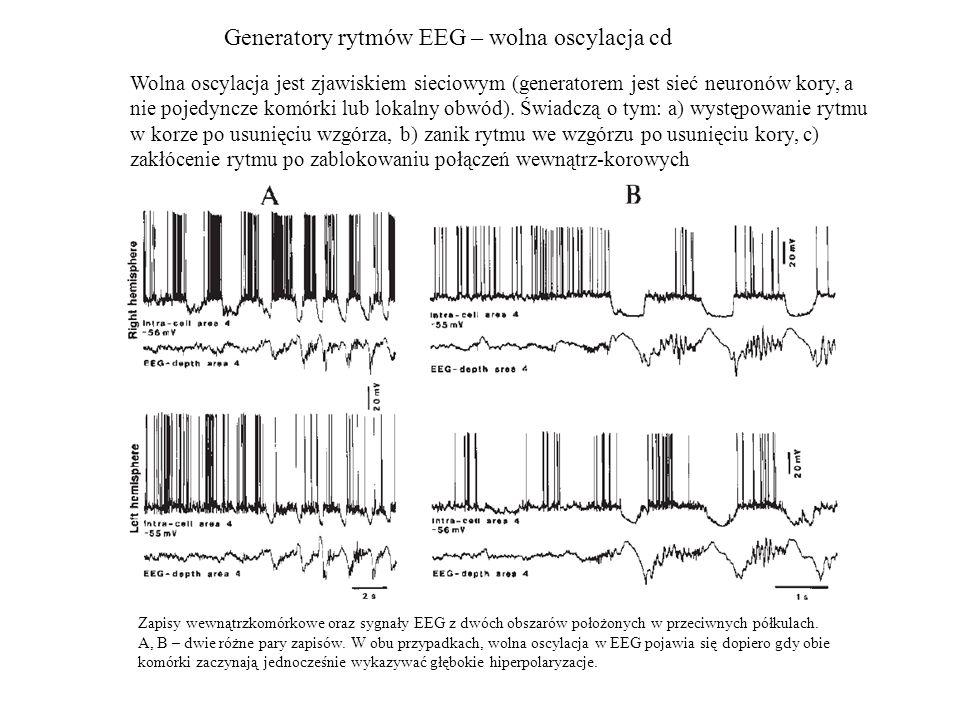 Generatory rytmów EEG – wolna oscylacja cd Wolna oscylacja jest zjawiskiem sieciowym (generatorem jest sieć neuronów kory, a nie pojedyncze komórki lu