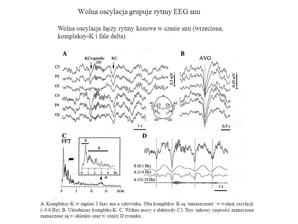 Wolna oscylacja grupuje rytmy EEG snu A. Kompleksy-K w zapisie 3 fazy snu u człowieka. Oba kompleksy K są umieszczone w wolnej oscylacji (~0.6 Hz). B.