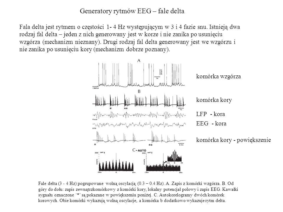 Generatory rytmów EEG – fale delta Fale delta (3 - 4 Hz) pogrupowane wolną oscylacją (0.3 – 0.4 Hz). A. Zapis z komórki wzgórza. B. Od góry do dołu: z