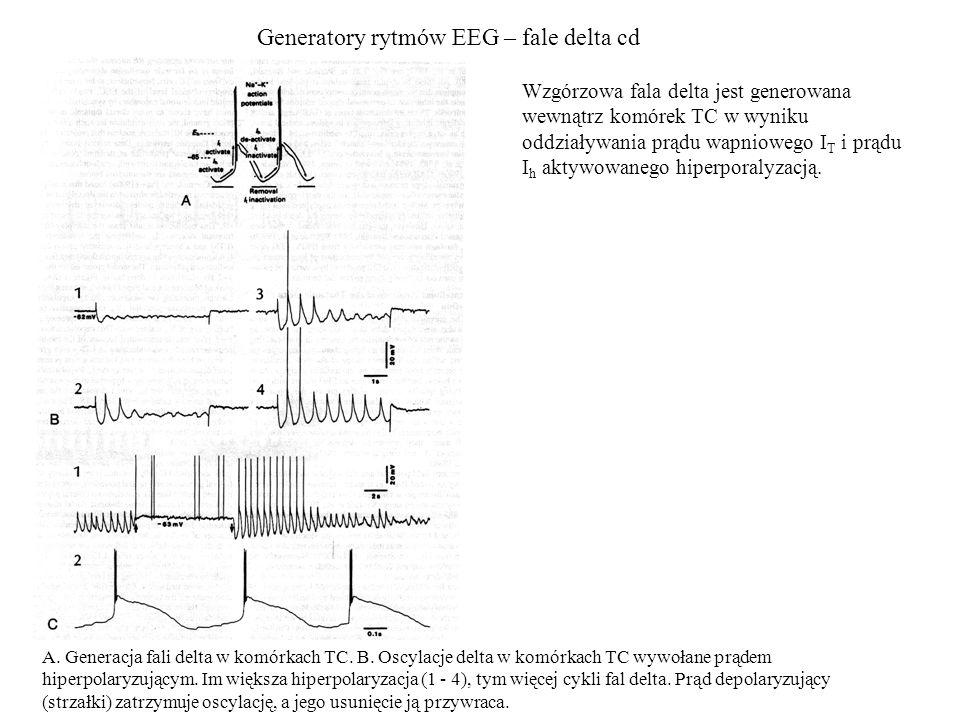 Generatory rytmów EEG – fale delta cd A. Generacja fali delta w komórkach TC. B. Oscylacje delta w komórkach TC wywołane prądem hiperpolaryzującym. Im