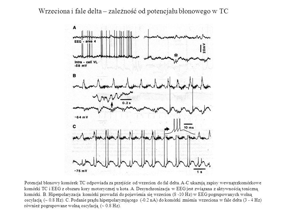 Wrzeciona i fale delta – zależność od potencjału błonowego w TC Potencjał błonowy komórek TC odpowiada za przejście od wrzecion do fal delta. A-C ukaz