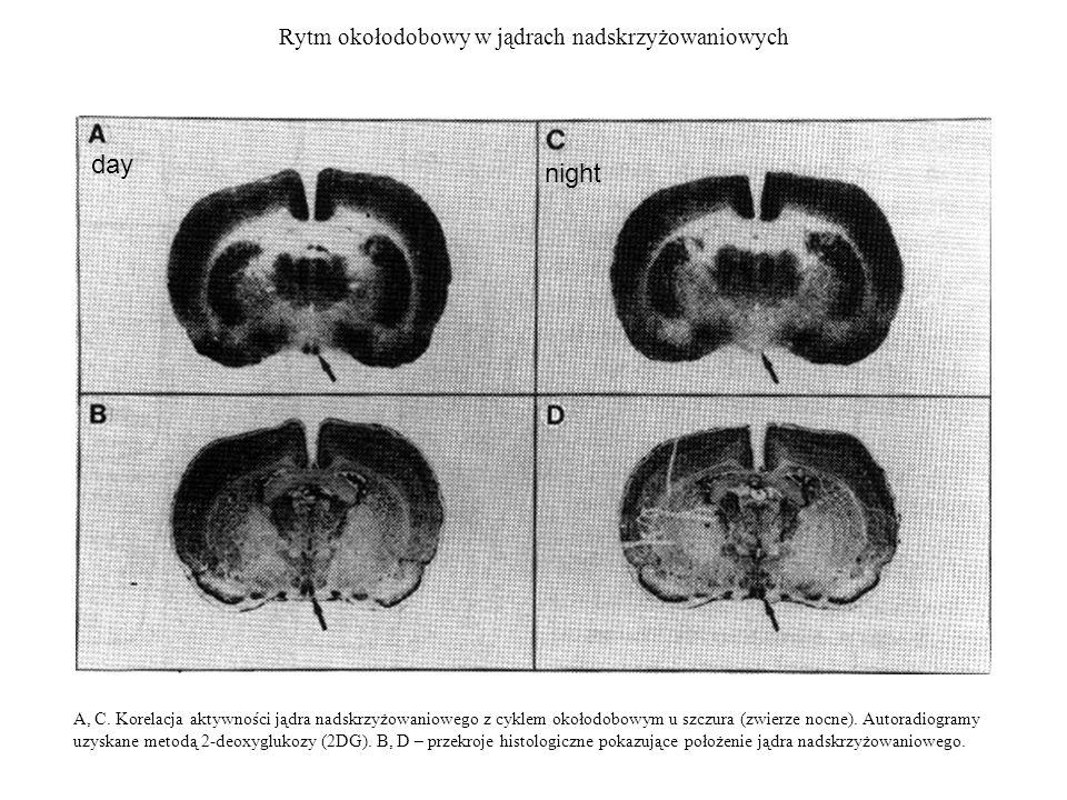 Rytm okołodobowy w jądrach nadskrzyżowaniowych A, C. Korelacja aktywności jądra nadskrzyżowaniowego z cyklem okołodobowym u szczura (zwierze nocne). A