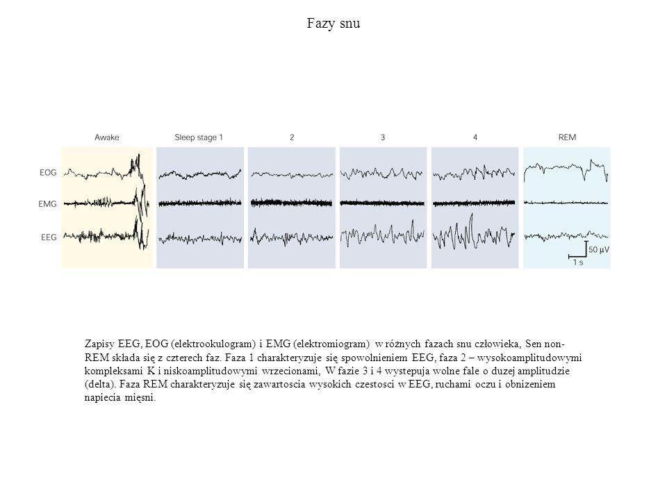Fazy snu Zapisy EEG, EOG (elektrookulogram) i EMG (elektromiogram) w różnych fazach snu człowieka, Sen non- REM składa się z czterech faz. Faza 1 char