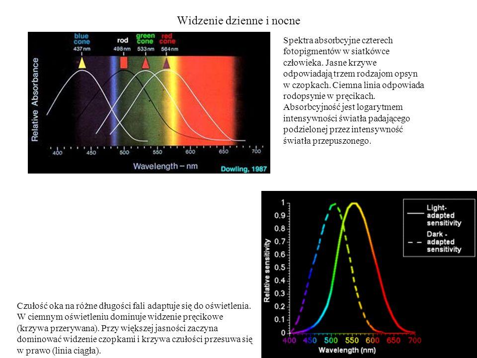 Widzenie dzienne i nocne Spektra absorbcyjne czterech fotopigmentów w siatkówce człowieka. Jasne krzywe odpowiadają trzem rodzajom opsyn w czopkach. C