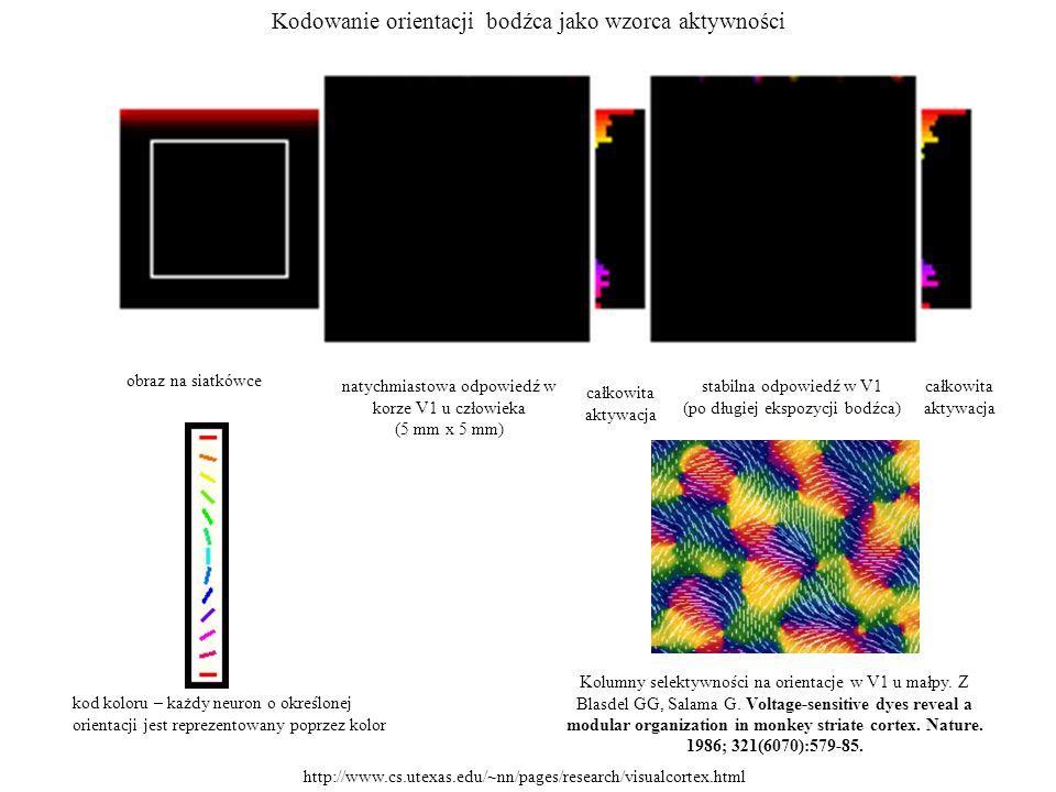 Kodowanie orientacji bodźca jako wzorca aktywności obraz na siatkówce natychmiastowa odpowiedź w korze V1 u człowieka (5 mm x 5 mm) kod koloru – każdy