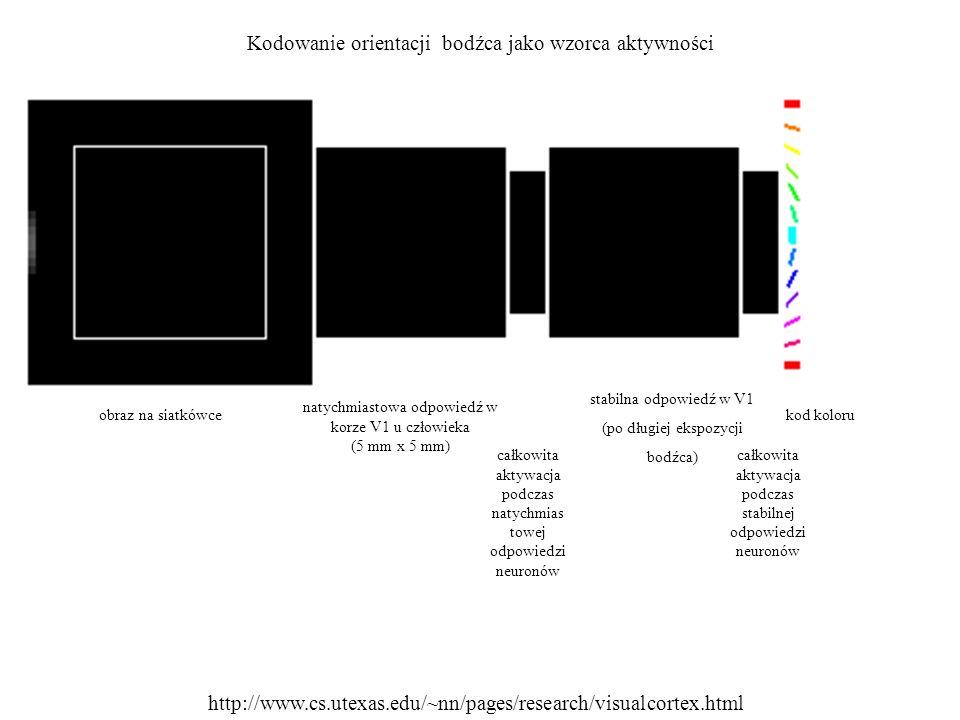 Kodowanie orientacji bodźca jako wzorca aktywności obraz na siatkówce natychmiastowa odpowiedź w korze V1 u człowieka (5 mm x 5 mm) całkowita aktywacj
