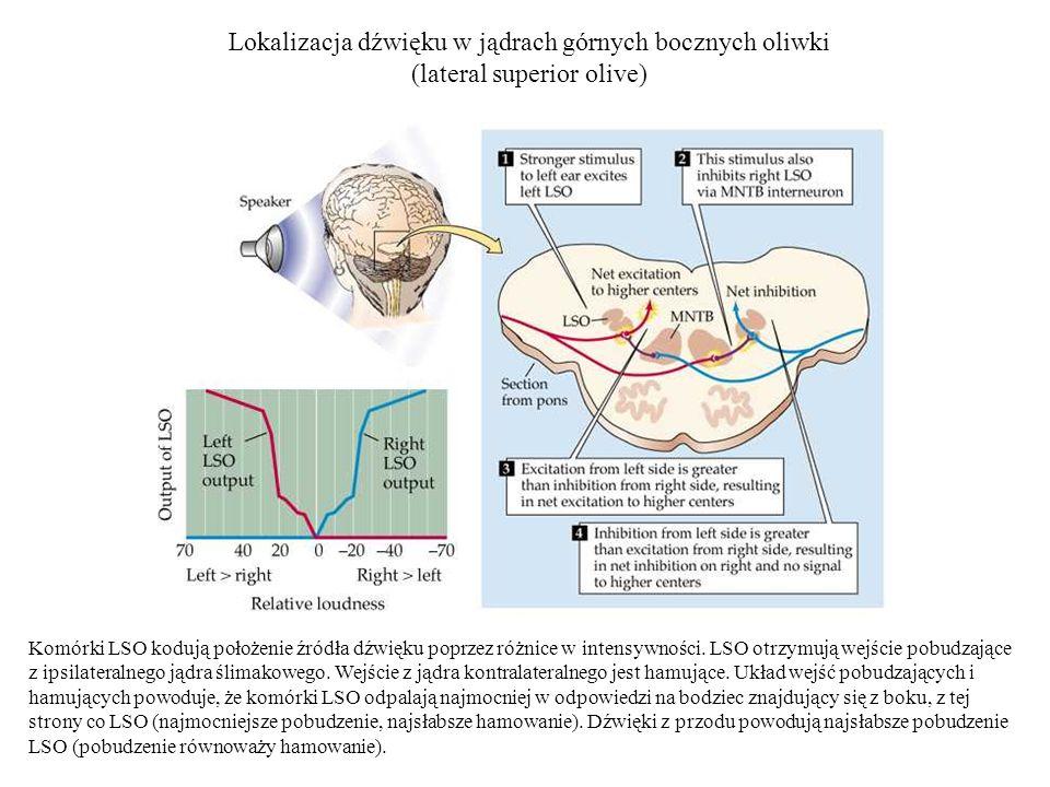 Lokalizacja dźwięku w jądrach górnych bocznych oliwki (lateral superior olive) Komórki LSO kodują położenie źródła dźwięku poprzez różnice w intensywn