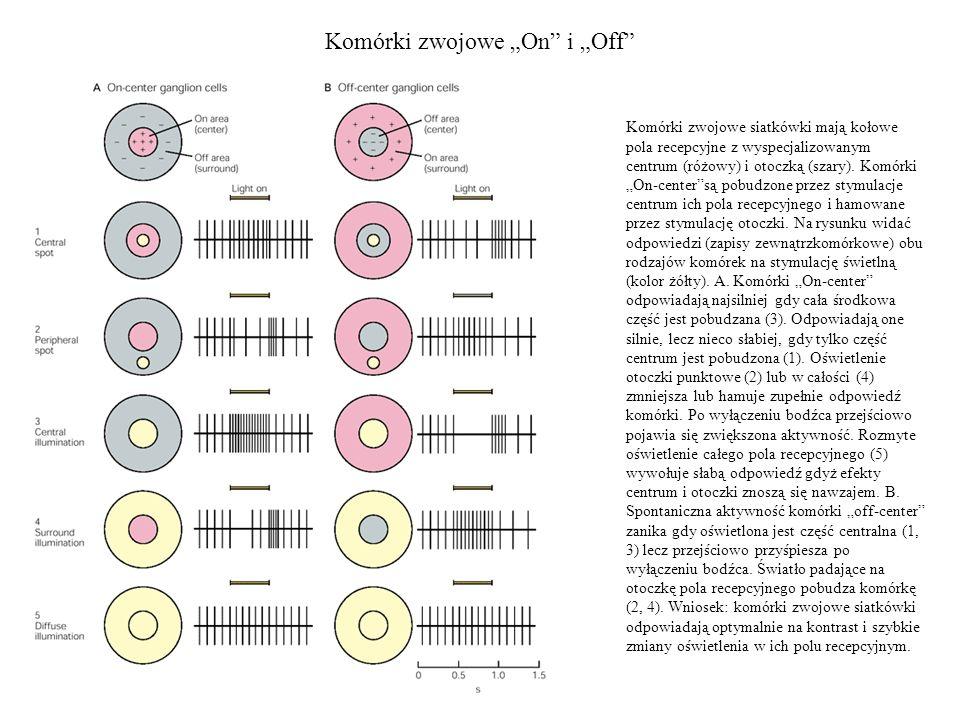 Komórki zwojowe On i Off Komórki zwojowe siatkówki mają kołowe pola recepcyjne z wyspecjalizowanym centrum (różowy) i otoczką (szary). Komórki On-cent