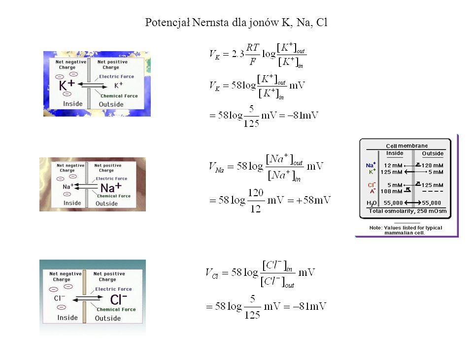 Potencjał Nernsta dla jonów K, Na, Cl