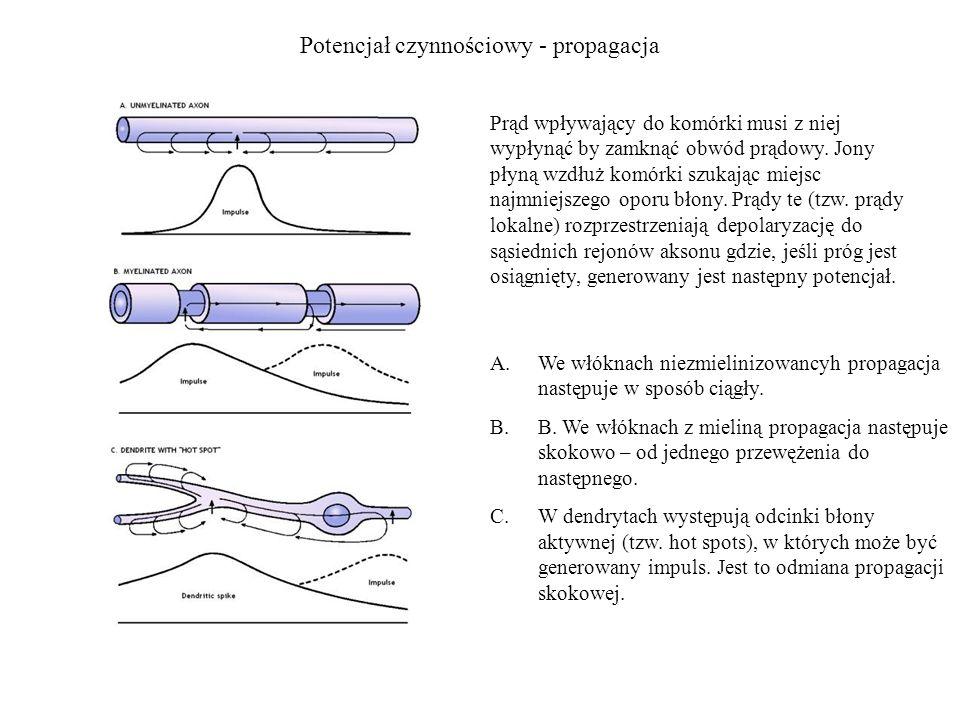 Potencjał czynnościowy - propagacja Prąd wpływający do komórki musi z niej wypłynąć by zamknąć obwód prądowy. Jony płyną wzdłuż komórki szukając miejs