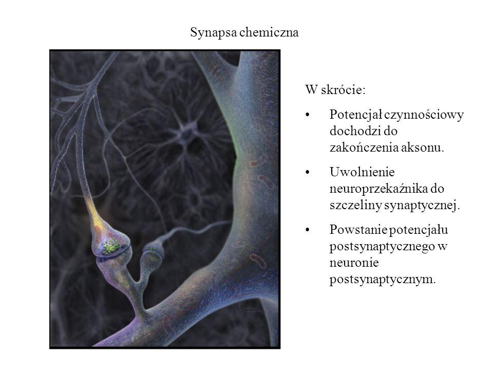 Synapsa chemiczna W skrócie: Potencjał czynnościowy dochodzi do zakończenia aksonu. Uwolnienie neuroprzekaźnika do szczeliny synaptycznej. Powstanie p