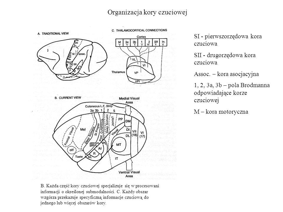 Organizacja kory czuciowej SI - pierwszorzędowa kora czuciowa SII - drugorzędowa kora czuciowa Assoc. – kora asocjacyjna 1, 2, 3a, 3b – pola Brodmanna