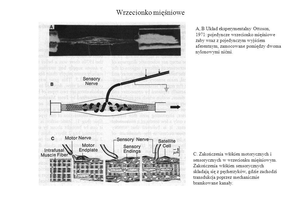 Wrzecionko mięśniowe A, B Układ eksperymentalny Ottoson, 1971: pojedyncze wrzecionko mięśniowe żaby wraz z pojedynczym wyjściem aferentnym, zamocowane