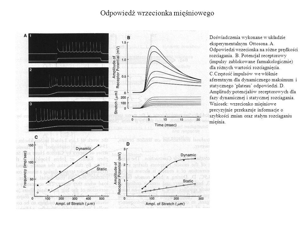 Odpowiedź wrzecionka mięśniowego Doświadczenia wykonane w układzie eksperymentalnym Ottosona. A. Odpowiedzi wrzecionka na różne prędkości rozciągania.