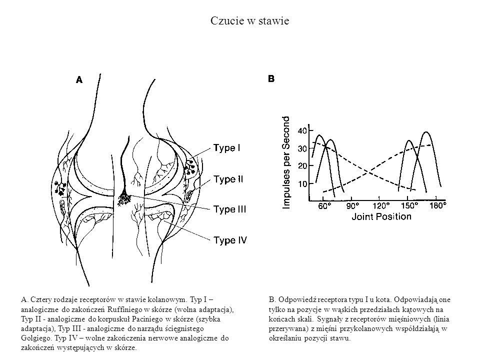 Czucie w stawie A. Cztery rodzaje receptorów w stawie kolanowym. Typ I – analogiczne do zakończeń Ruffiniego w skórze (wolna adaptacja), Typ II - anal