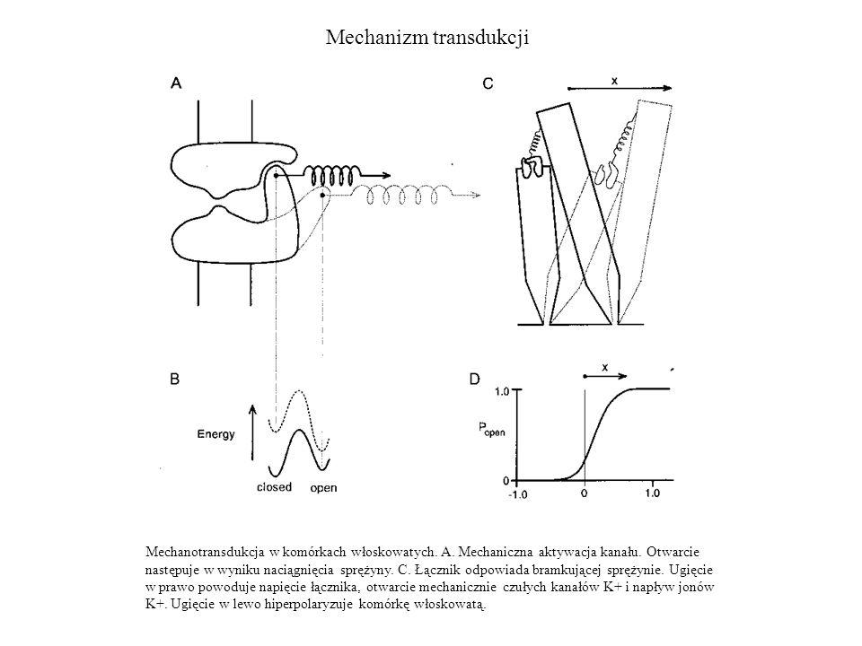 Mechanizm transdukcji Mechanotransdukcja w komórkach włoskowatych. A. Mechaniczna aktywacja kanału. Otwarcie następuje w wyniku naciągnięcia sprężyny.