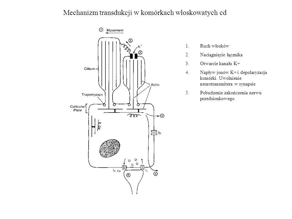 Mechanizm transdukcji w komórkach włoskowatych cd 1.Ruch włosków 2.Naciągnięcie łącznika 3.Otwarcie kanału K+ 4.Napływ jonów K+ i depolaryzacja komórk
