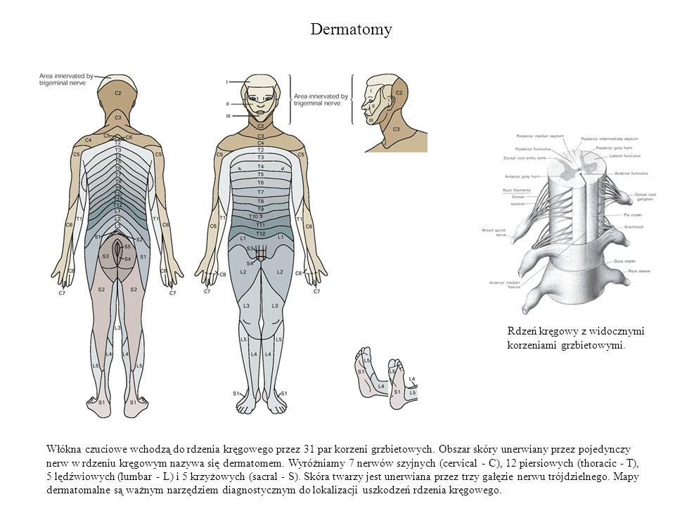 Dermatomy Włókna czuciowe wchodzą do rdzenia kręgowego przez 31 par korzeni grzbietowych. Obszar skóry unerwiany przez pojedynczy nerw w rdzeniu kręgo