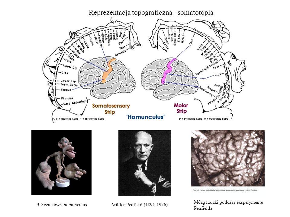 Reprezentacja topograficzna - somatotopia Wilder Penfield (1891-1976)3D czuciowy homunculus Mózg ludzki podczas eksperymentu Penfielda