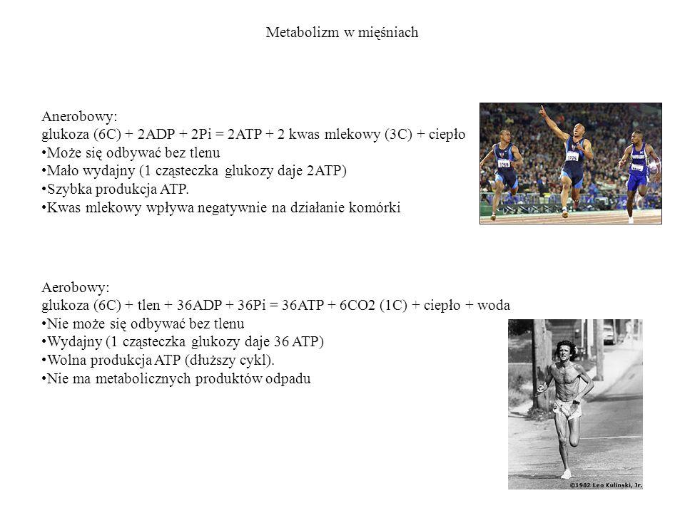 Metabolizm w mięśniach Anerobowy: glukoza (6C) + 2ADP + 2Pi = 2ATP + 2 kwas mlekowy (3C) + ciepło Może się odbywać bez tlenu Mało wydajny (1 cząsteczk
