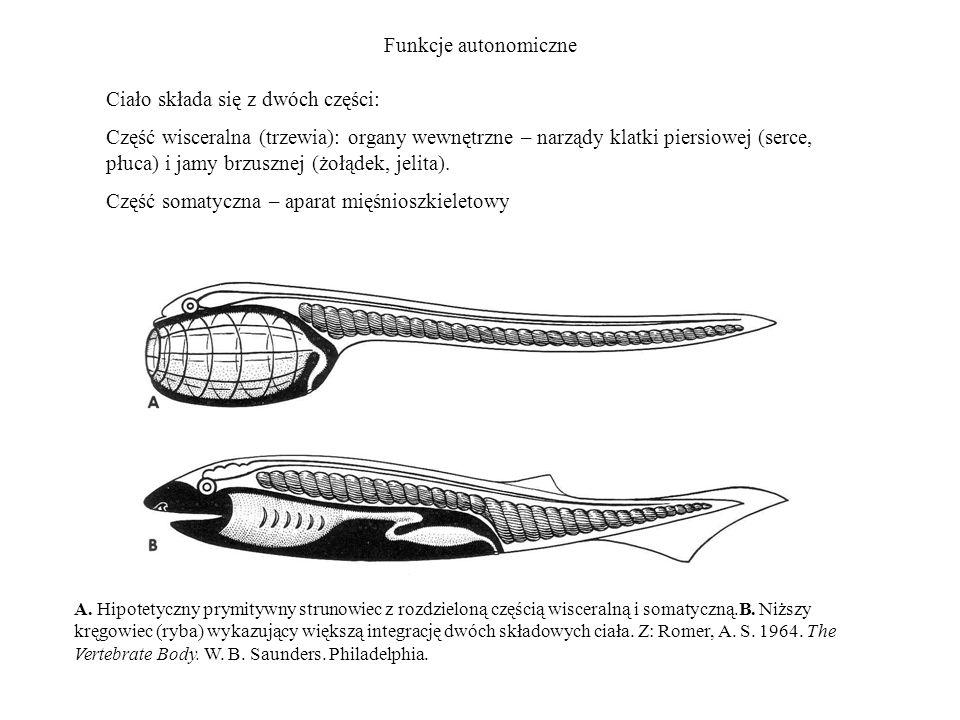 Funkcje autonomiczne A. Hipotetyczny prymitywny strunowiec z rozdzieloną częścią wisceralną i somatyczną.B. Niższy kręgowiec (ryba) wykazujący większą