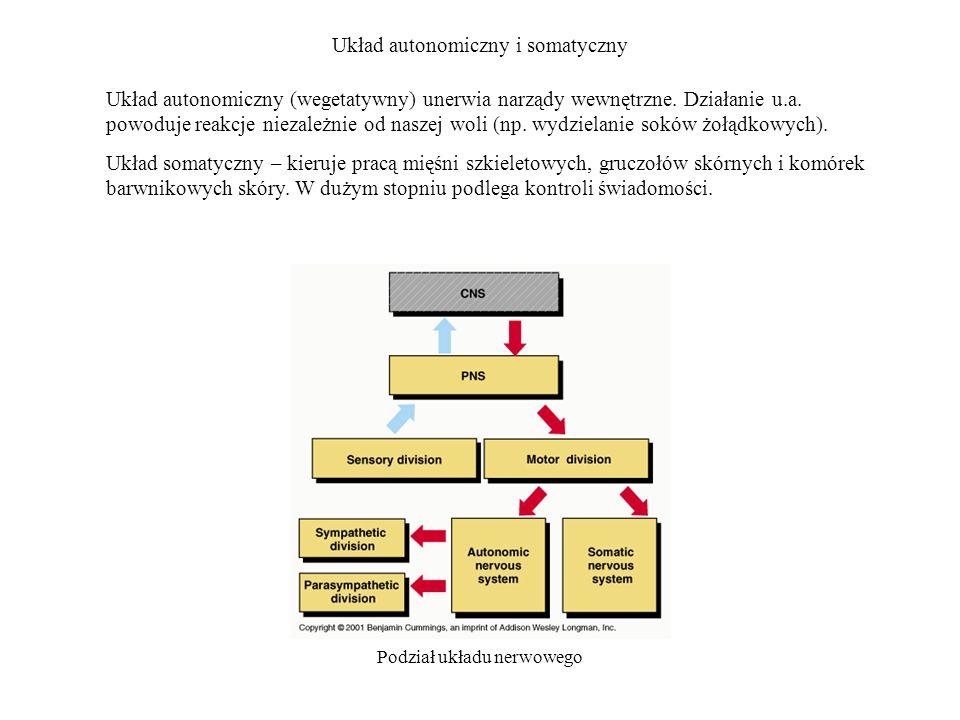 Układ autonomiczny i somatyczny Podział układu nerwowego Układ autonomiczny (wegetatywny) unerwia narządy wewnętrzne. Działanie u.a. powoduje reakcje