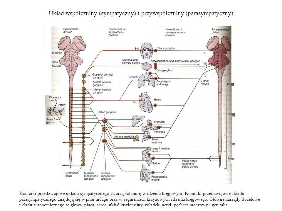 Układ współczulny (sympatyczny) i przywspółczulny (parasympatyczny) Komórki przedzwojowe układu sympatycznego tworzą kolumnę w rdzeniu kręgowym. Komór