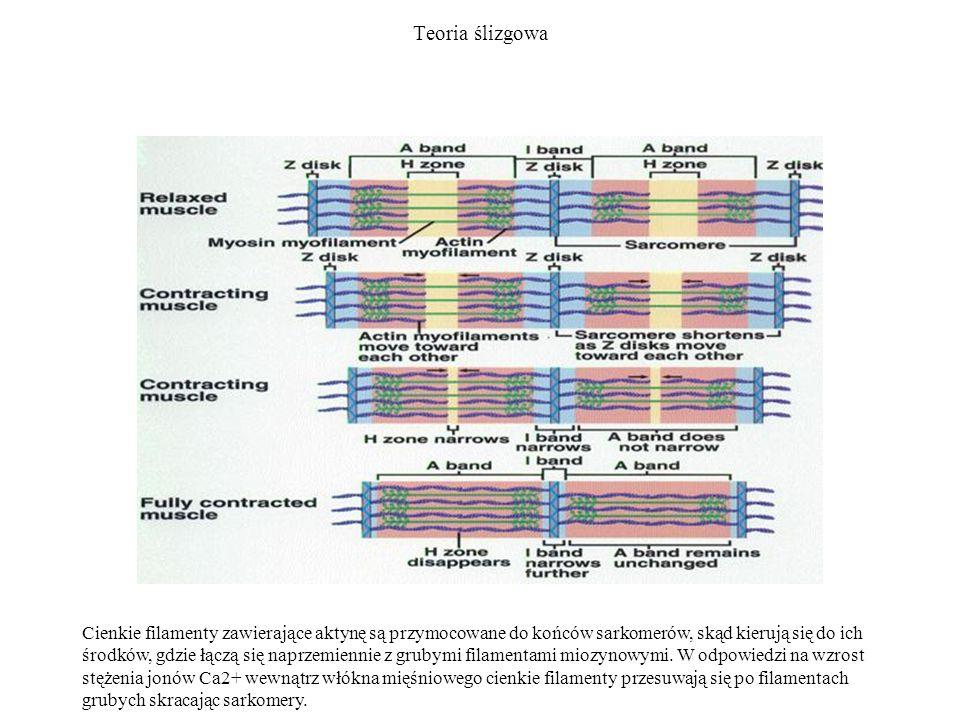 Teoria ślizgowa Cienkie filamenty zawierające aktynę są przymocowane do końców sarkomerów, skąd kierują się do ich środków, gdzie łączą się naprzemien
