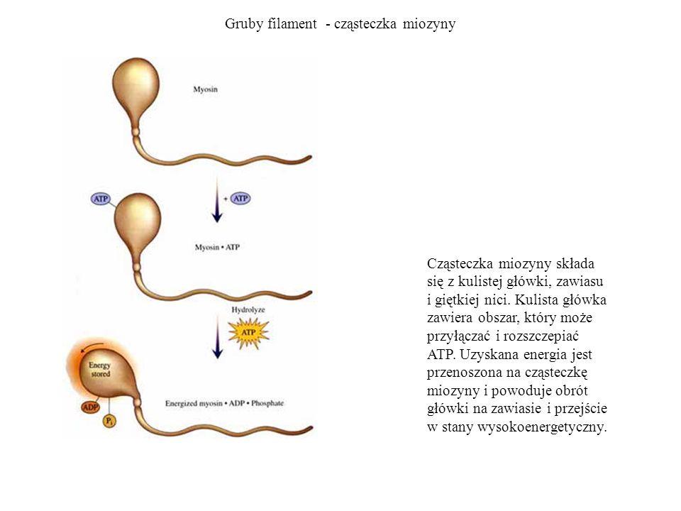 Gruby filament - cząsteczka miozyny Cząsteczka miozyny składa się z kulistej główki, zawiasu i giętkiej nici. Kulista główka zawiera obszar, który moż